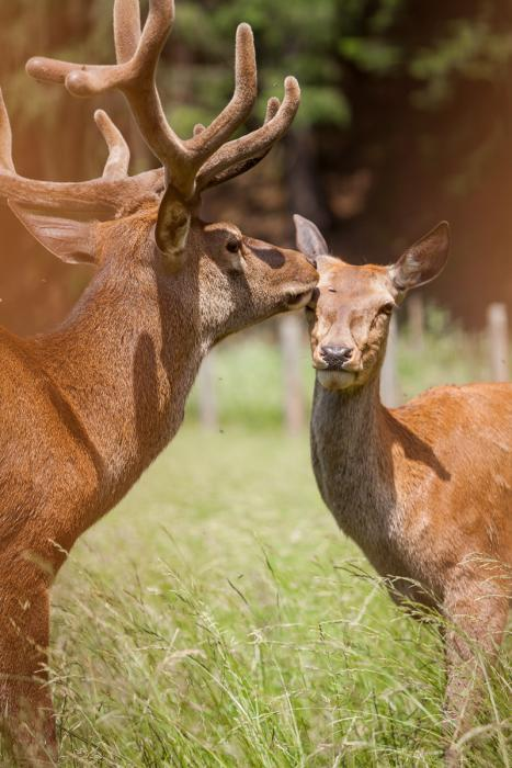 Krmení jelenů