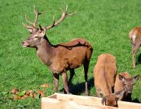 Nádherný jelen